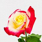 Rose - Double Delight by DPalmer