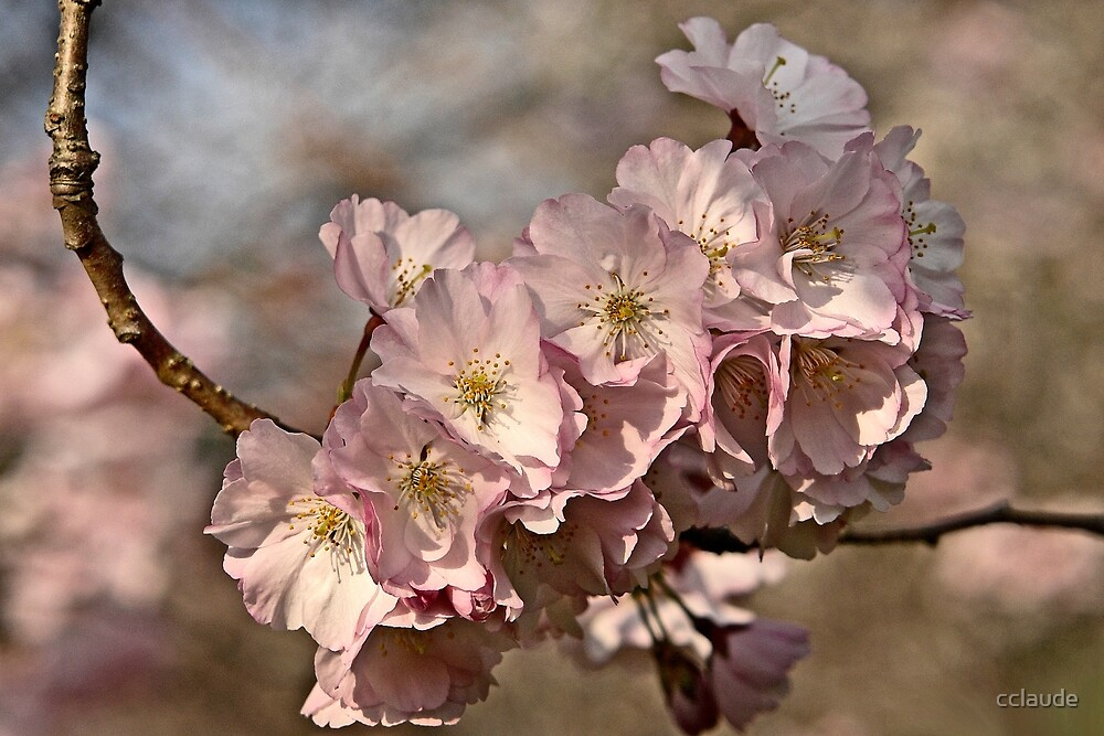 Cherry Blossoms by cclaude