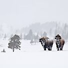 Bison in the Snow, Yellowstone National Park (2) by Gary Lengyel