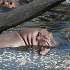Hippo baby and mother by Steven Bassion
