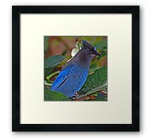 Stella, the Stellar Blue Jay Framed Print