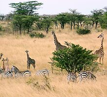 Baby giraffes and zebras by Steven Bassion