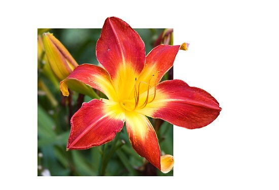 Red and Yellow Lily by Sarah McKoy