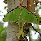 Luna Moth 2 by Vickie Emms