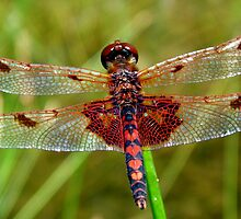Dragonfly (Red) by main1