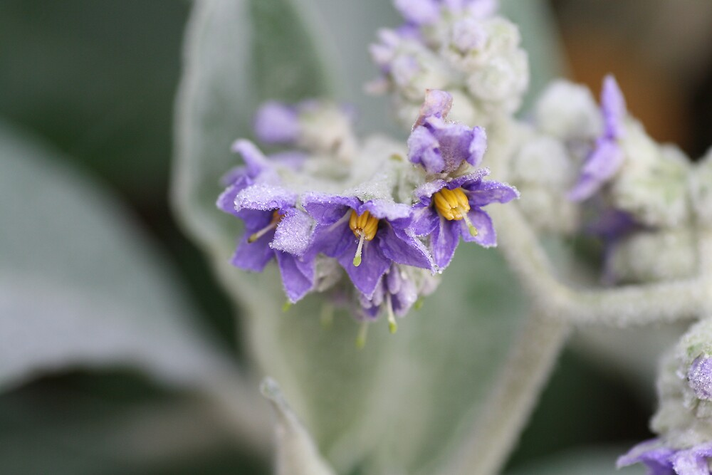 Frosted Nightshade by Emma Tepania