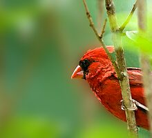 Cardinals Calendar by Bonnie T.  Barry