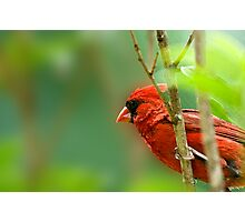 Cardinal Inspired by C.S. Lewis Photographic Print