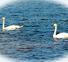 Two Mute Swans by Cynthia48