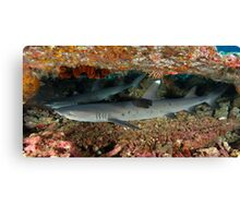 White Tip Reefies Canvas Print