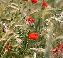 Wheat & Poppies Field by Freelancer