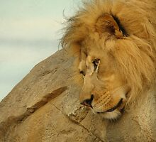 Lion chilling by dmwarnman