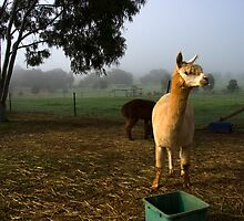 Boddington and alpacas by Gary Wooldridge