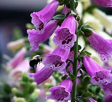 Purple Foxglove by LeftHandPrints