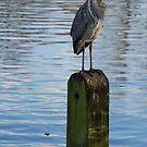Grey Heron by Jane Hansen