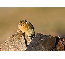 Pika Perching Photographic Print