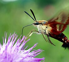 Sweet Tooth  (Hummingbird Moth) by mikrin