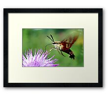 Sweet Tooth  (Hummingbird Moth) Framed Print