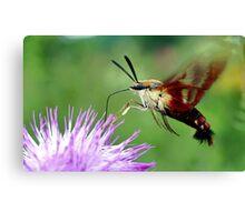 Sweet Tooth  (Hummingbird Moth) Canvas Print
