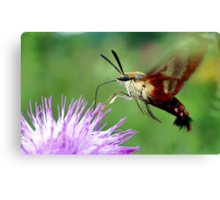 Sweet Tooth  (Hummingbird Moth) Canvas Print