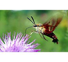 Sweet Tooth  (Hummingbird Moth) Photographic Print
