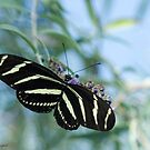 Zebra Wings by Mary Campbell