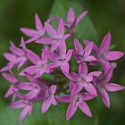 Pretty Pentas  by Margaret Stanton