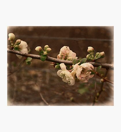 Flowering Quince (Japonica) Photographic Print