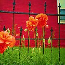 Poppies Bursting Forth by © Jolie  Buchanan