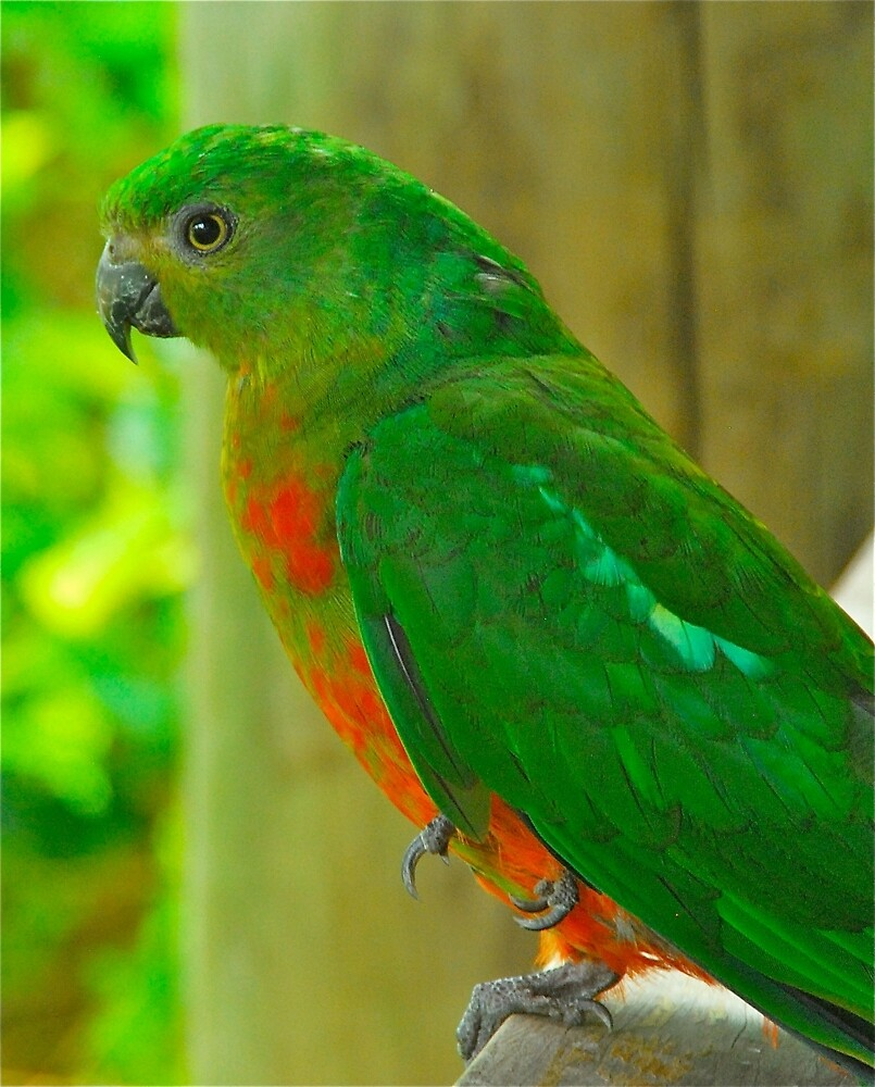 Female King Parrot by Penny Smith