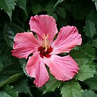 Vibrant Hibiscus by Jory33