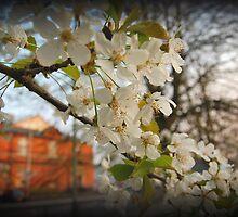 Sakura by mikepom