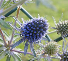Sea Holly - Eryngium by pat oubridge