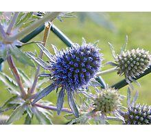 Sea Holly - Eryngium Photographic Print
