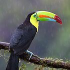 Keel-billed toucan - Costa Rica by Jim Cumming