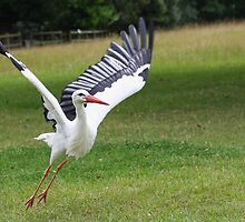 White Stork by jdmphotography