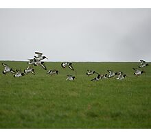 Oyster Catcher's  Photographic Print