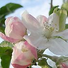 Apple blossom by Ana Belaj