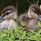 Black Duck (Ducklings) by main1