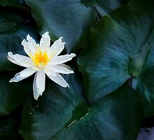 Water Lily by Margaret Goodwin