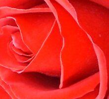 Red Velvet Rose by CorkDayDreamer