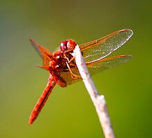 Red Dragonfly by Yvette Bielert