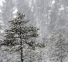 23.1.2015: Pine Trees in Blizzard I by Petri Volanen