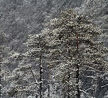 23.1.2015: Pine Trees in Blizzard II by Petri Volanen