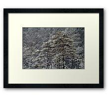 23.1.2015: Pine Trees in Blizzard II Framed Print