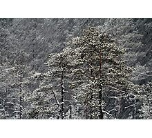 23.1.2015: Pine Trees in Blizzard II Photographic Print