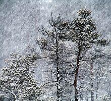 23.1.2015: Pine Trees in Blizzard III by Petri Volanen