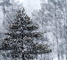 23.1.2015: Pine Trees in Blizzard IV by Petri Volanen