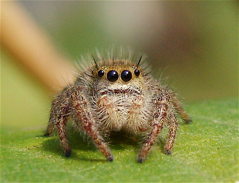 Cute jumping spider - photo#6