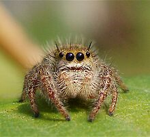 "Jumping Spider ""Too Cute"" by main1"